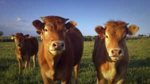 Efecto de la nutrición sobre la involución uterina en bovinos
