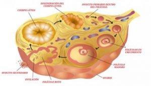 Efectos en la ovulacion