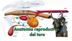 Anatomía reproductiva del toro