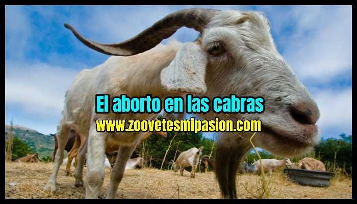 El aborto en las cabras