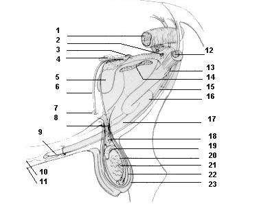 Figura 2. Aparato reprodcutor