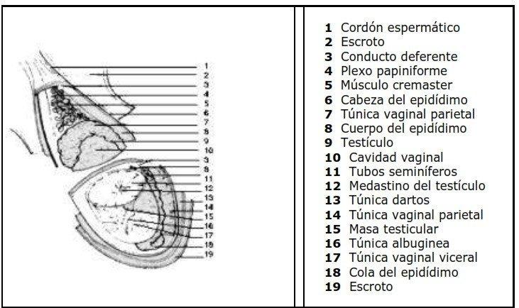 Anatomía del aparato reproductor del toro