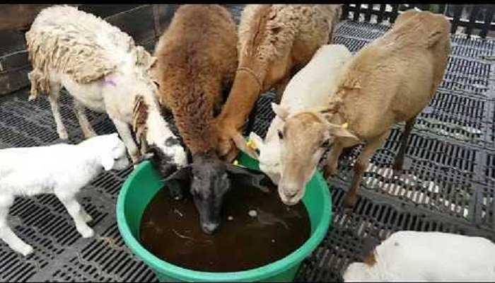 Uso de melaza en ovinos