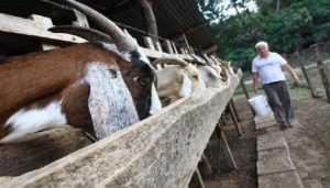 alimentacion de la cabra