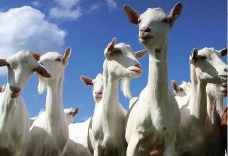 cabras prolificidad