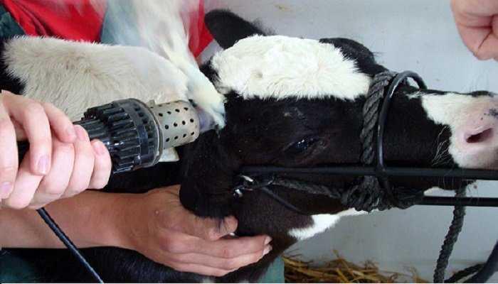 Descorne de bovinos