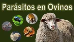 Parasitos Ovinos
