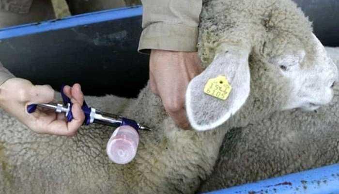Control parásitos en ovinos