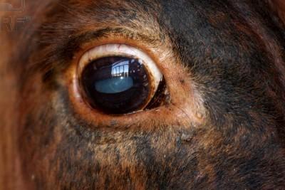 vision de la vaca