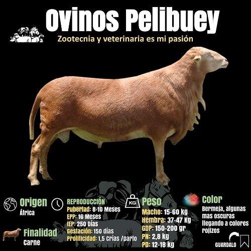 Datos de la Raza ovina Pelibuey