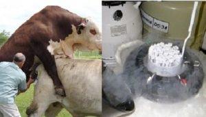 congelación de semen bovino