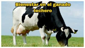Bienestar animal en le ganado lechero