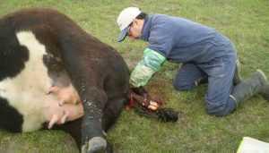 Qué hacer si una vaca no puede parir