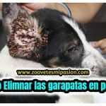Como eliminar garrapatas en perros