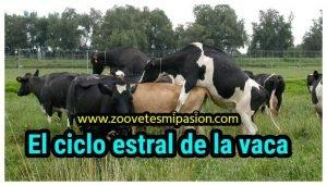 El ciclo estral de la vaca