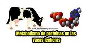 Metabolismo de proteínas en el ganado