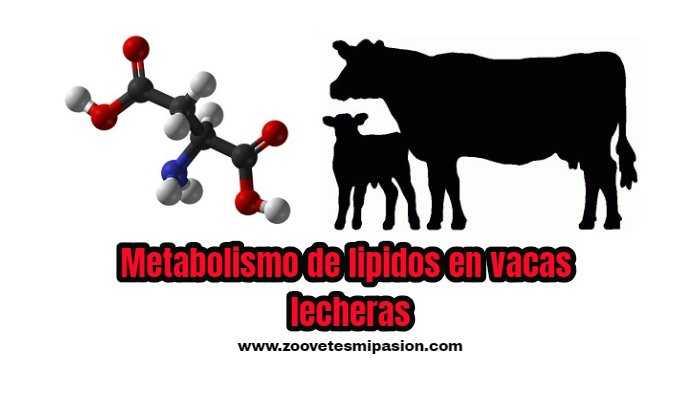 Metabolismo de lipidos en vacas lecheras