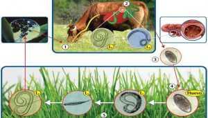 Nematodosis Gastrointestinales en bovinos