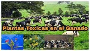 Plantas toxicas en el ganado