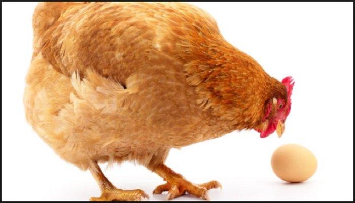 como evitar que las gallinas se coman los huevos