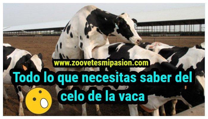 el celo de la vaca