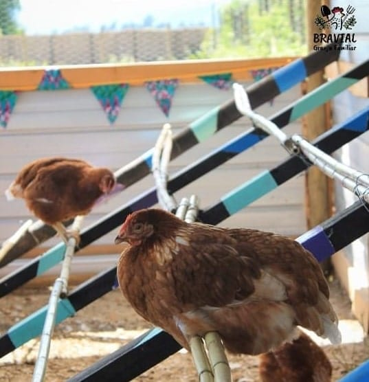 cómo evitar que las gallinas se coman sus propios huevos