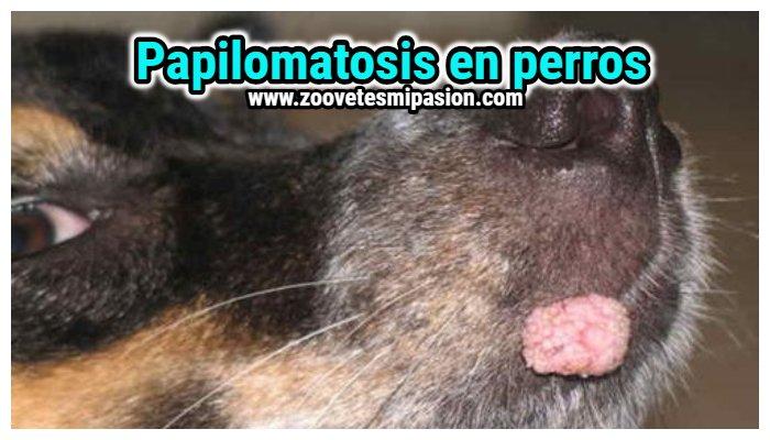 tratamento papiloma virus canino)
