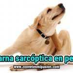 Sarna sarcóptica en perros