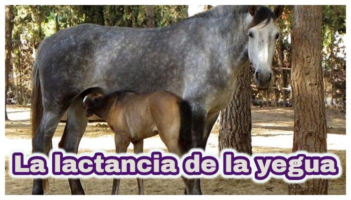 La lactancia de la yegua