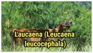 Laucaena (Leucaena leucocephala)