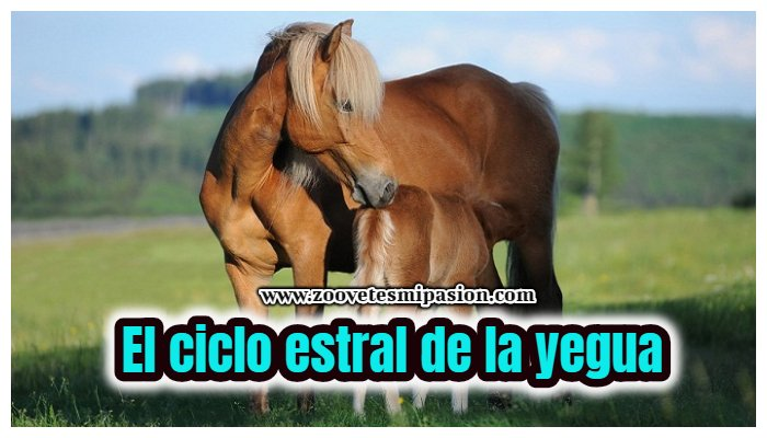 ciclo estral de la yegua