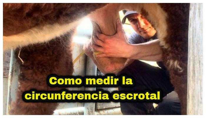 como medir la circunferencia escrotal del toro