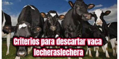criterios para descartar vacas lecheras