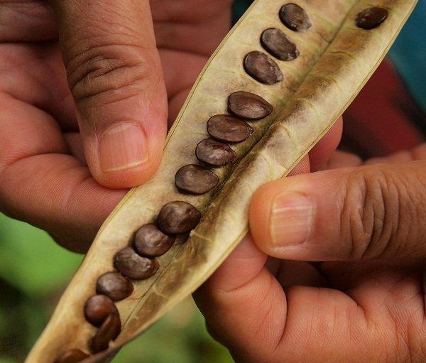 semillas de Leucaena leucocephala