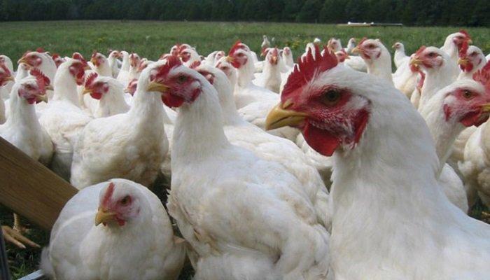 uso de la proteasa en la avicultura