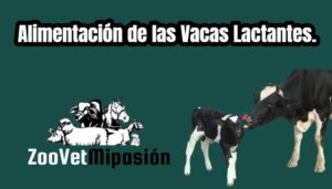 Alimentación de Vacas Lactantes.
