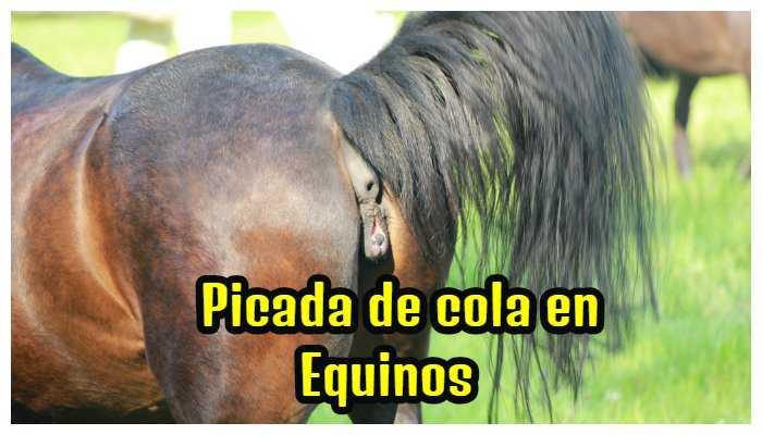 Picada de cola en Equinos