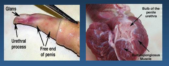 ▷ Aparato reproductor del caballo anatomia y funciones reproductivas
