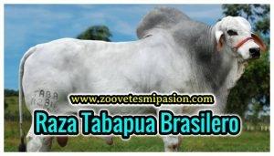 Raza Bovina Tabapua Brasilero