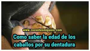 Como saber la edad de los caballos por su dentadura