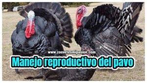 Manejo reproductivo del pavo