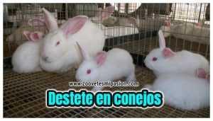 Destete en conejos