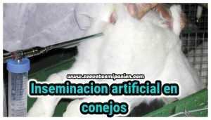 Inseminación artificial en conejos