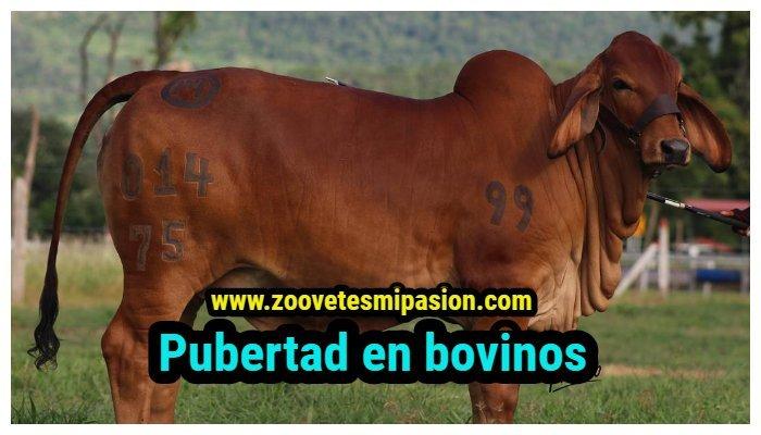 Pubertad en bovinos machos y hembras