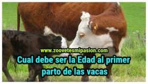 cual es la Edad al primer parto de las vacas