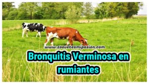 Bronquitis verminosa en rumiantes