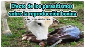Efecto de la parasitosis sobre la reproducción bovina