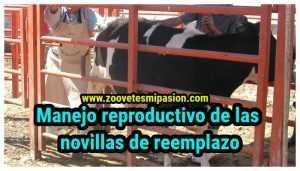 Manejo reproductivo de las novillas de reemplazo