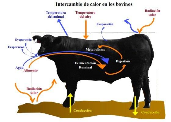 Perdida de calor en la ganado bovino