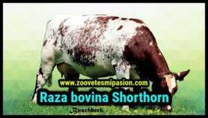 Raza bovina Shorthorn